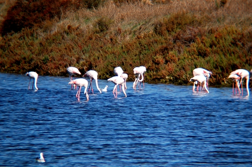Flamingos, Ria Formosa - Algarve
