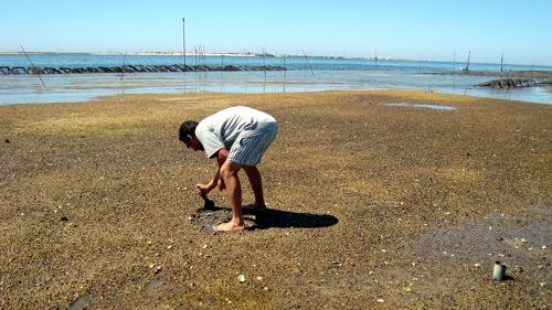Apanha de Marisco Ilha da Culatra Ria Formosa Natura Algarve