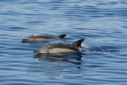 Dolphinwatching & Marine Wildlife in the Algarve (2h)